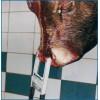 查维斯美国进口牛线上工具牛用电刺激ES-4屠宰设备