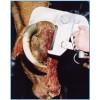 查维斯美国进口牛线上工具牛腿剪牛蹄角剪屠宰设备
