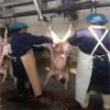 查维斯美国进口羊线上工具冲压式扯皮柄撑皮器羊搋子撑皮设备